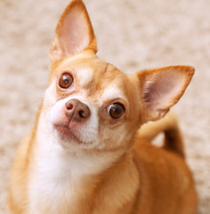 Chihuahua dog portrait. Pretty serious dog.
