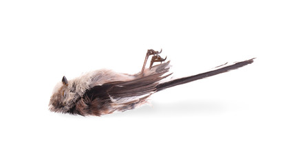 Deceased long-tailed tit