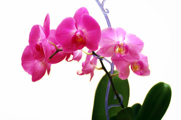 Beautiful pink orchid white background