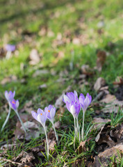 Lilac flowering crocuses in wild nature