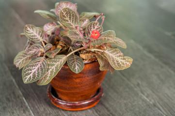 Episcia cupreata (Hook.) Hanst)