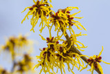 Blossom of a wild witch hazel