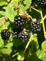 organic wild blackberry
