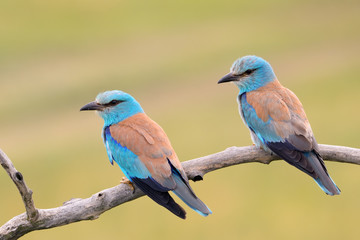 A pair of Eurasian Rollers sitting together on a branch