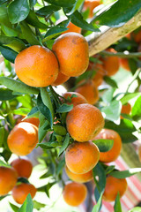 fresh orange on tree