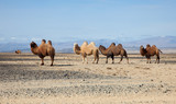 Bactrian camel in the steppes of Mongolia