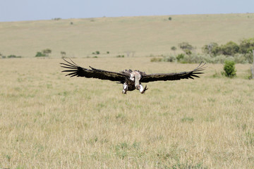 A African White-backed Vulture on flight