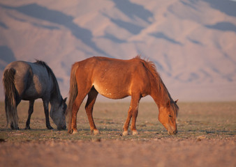 Herd of horses in the mongolian