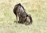 A wildebeest grazing in the vast savanna