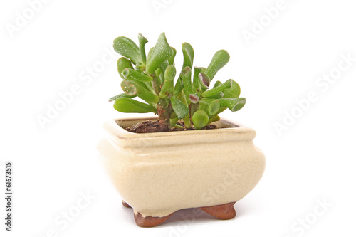 Aluminium Bonsai Crassula bonsai