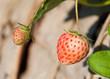 Fresh strawberry in strawberry field