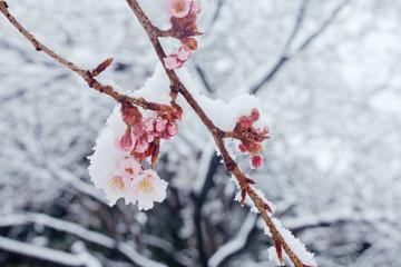 雪に咲く寒桜