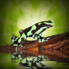 The poison dart frog (Dendrobates) in a rainforest.