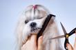Постер, плакат: Shih tzu dog grooming