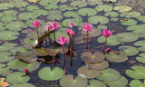 Lotus in the lake