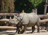 Rhinoceros in the world's oldest zoo. Vienna, Austria
