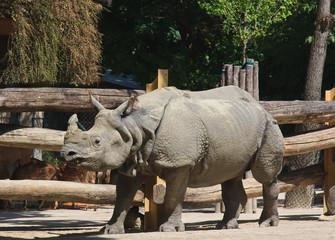 Rhinoceros in the world's oldest zoo. Vienna, Austria