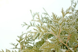 Ice and Snow Covered Arborvitae Tree in Winter