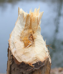 Close up of a tree taken down by beaver. Pest control concept.