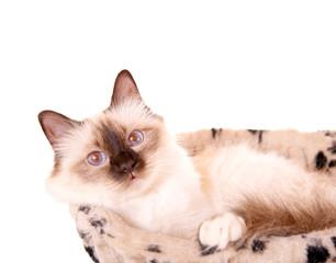 Birma-Katze im Hängekörbchen
