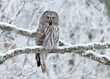 Great Grey Owl (Strix nebulosa) perched in a tree