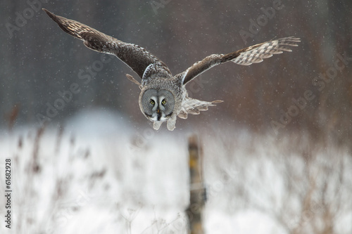 Staande foto Uil Great Grey Owl (Strix nebulosa) hunting in the falling snow