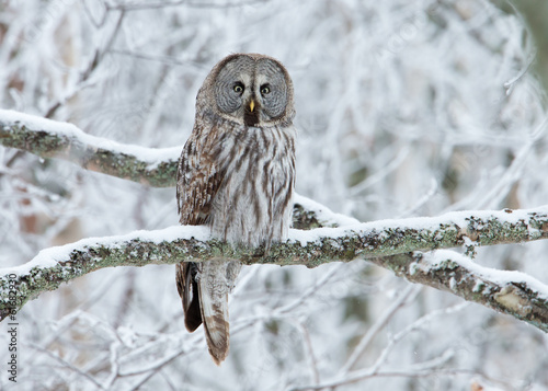 Deurstickers Uil Great Grey Owl (Strix nebulosa) perched in a tree