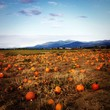 Pumpkin patch in mountains