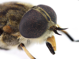 Horsefly look (Tabanus sp.)
