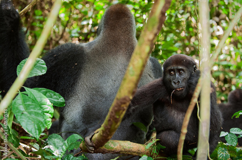 Western Lowland Gorilla male and Cub