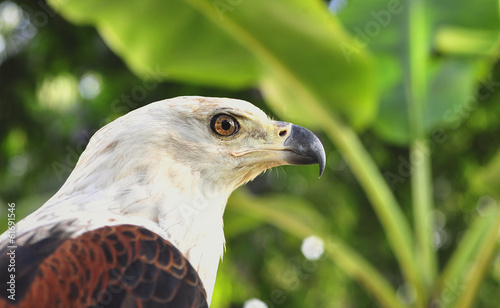 Portrait of an  African Fish Eagle