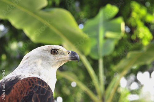 Portrait of an  african Fish Eagle (Haliaeetus vocifer)