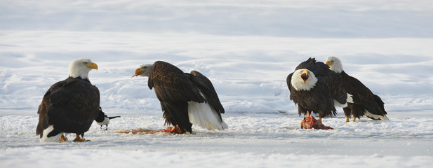 The Bald eagles  ( Haliaeetus leucocephalus )