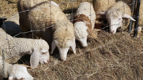 Sheeps eating hay in the farm