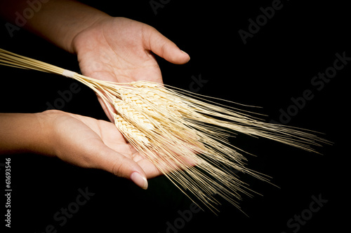Hands with wheat