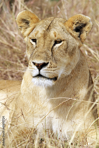 Lion on the Masai Mara in Kenya, Africa.