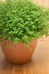 Soleirolia soleirolii or Baby's Tears plant in pot.