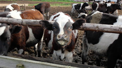 cows in a stable