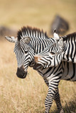 A lovely shot of zebra in Serengeti National Park, Tanzania.