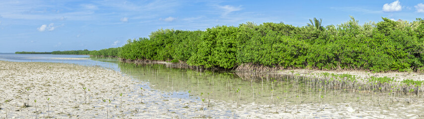Mangrove lagoon panoramic
