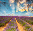 Lavender meadows in summer, Provence - France