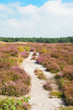 Blooming heather field with sand path