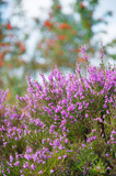 macro heather flowers with sorbus trees in background