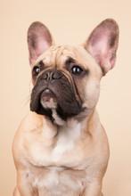 Bulldog french