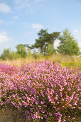Blooming heather field
