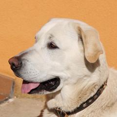 Labrador Retriever. Primer plano de la cabeza.