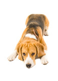 Beagle dog dutifully lying on the floor