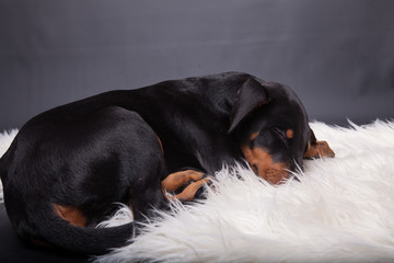 Dobermannwelpe schläft