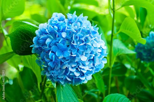 Foto op Plexiglas Hydrangea Hydrangea flowers