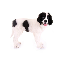 Hundewelpe – Landseer